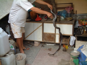 Vietnamese King Cobra
