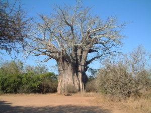 Baobab tree - most Southern