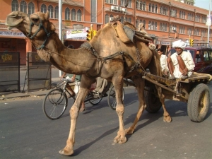 Camel Ride Jaipur