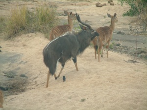 Nyala - male and female