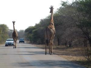 Giraffes Ahead