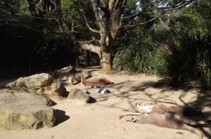 Kangaroos Taronga Zoo