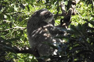 Koala Bear Taronga Zoo