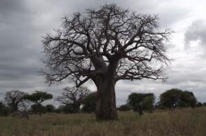 03 Zambezi Baobab