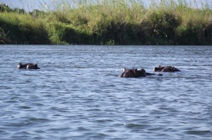 05 Zambezi Hippopotamus - too close for comfort