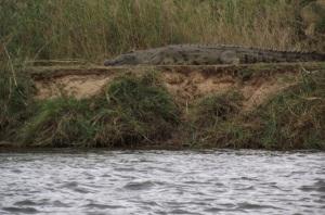 08 Zambezi Crocodile