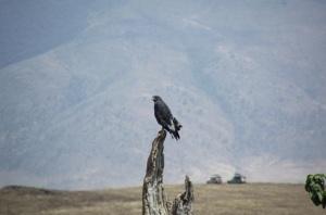 31 East African Black Kite