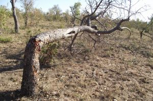 Elephant Tree Bending trick