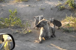 Spotted Hyena and Cubs